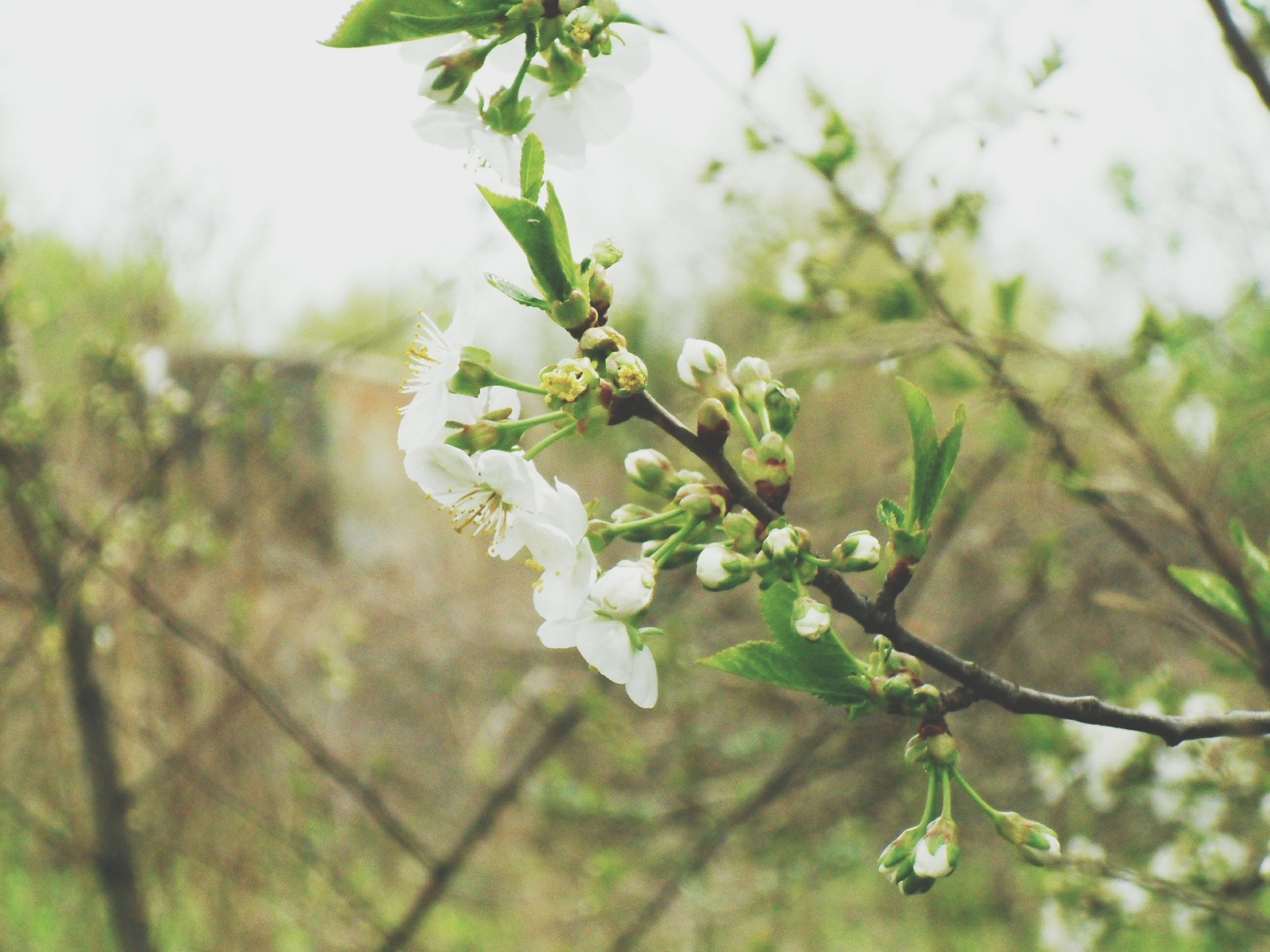 growth, flower, freshness, white color, leaf, focus on foreground, close-up, nature, fragility, beauty in nature, branch, plant, tree, green color, bud, blossom, twig, petal, stem, selective focus