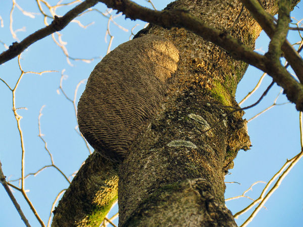 Bark Beauty In Nature Branch Branches Branches And Sky Brown Growth Hive Honeycomb Insect House Natural Pattern Nature Outdoors Sky Tree Tree Trunk Tree Trunk Wasp Wasp Hive Wasp Nest