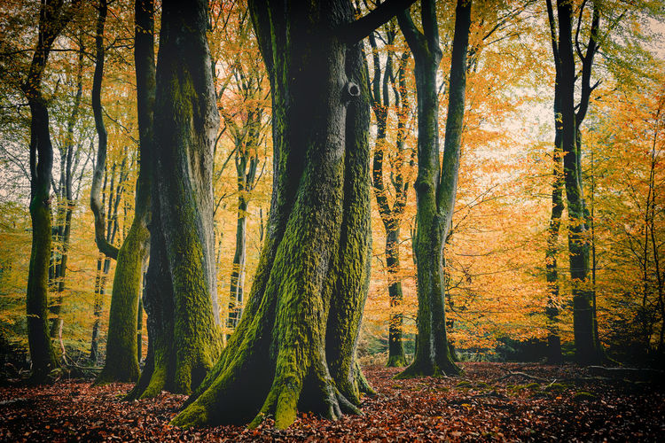 Tree Plant Forest Land Trunk Tree Trunk Beauty In Nature Autumn Tranquility Growth Nature Tranquil Scene WoodLand Non-urban Scene Scenics - Nature Change No People Day Environment Idyllic Outdoors Leaves Fall Speulderbos