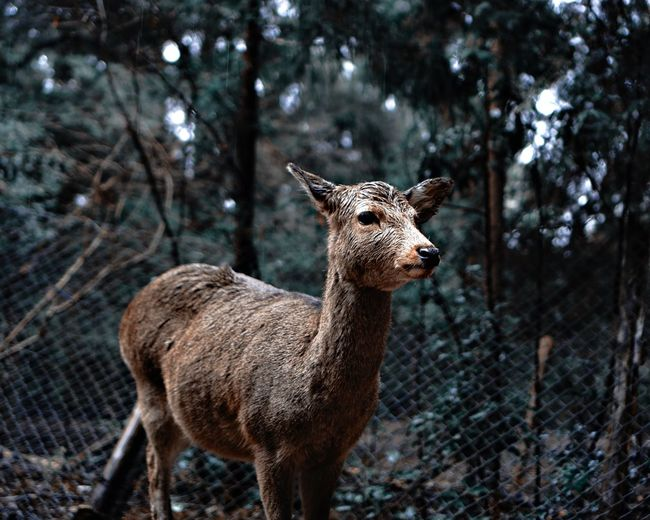 Doe on field by fence against trees