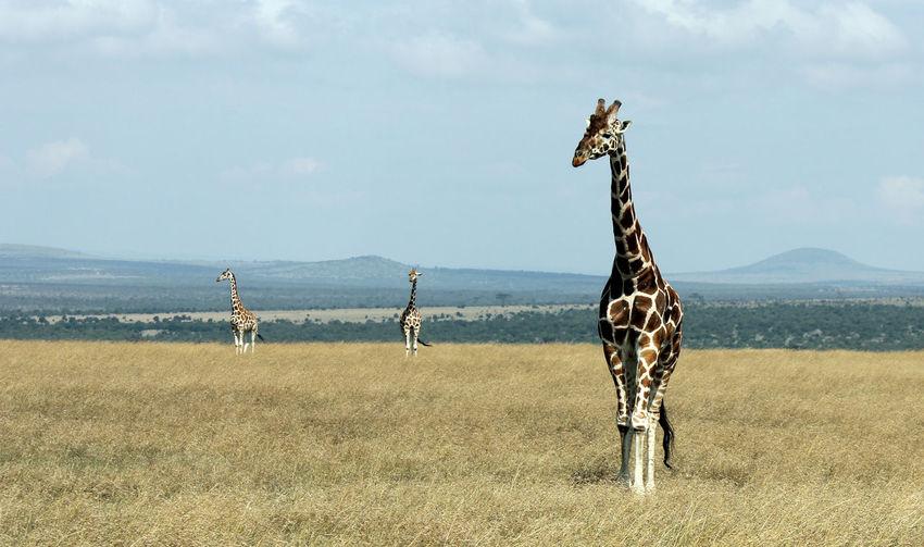 Giraffes Standing On Field In National Park