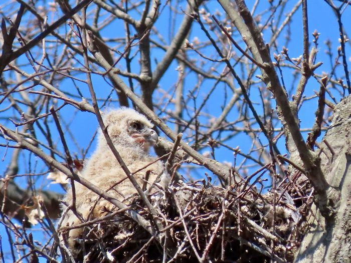 Owlets in the nest bare tree branches blue skies birds of EyeEm beauty in nature animal themes outdoors Animal Themes One Animal Low Angle View