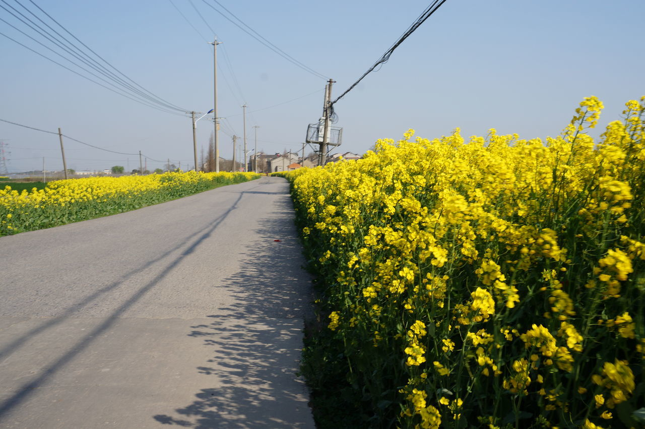 yellow, no people, flower, growth, cable, field, day, oilseed rape, nature, plant, tranquil scene, transportation, rural scene, road, outdoors, beauty in nature, the way forward, clear sky, agriculture, electricity pylon, landscape, sky, tree, freshness