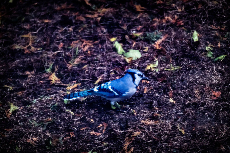 Blue Jay Animal Animal Themes Animal Wildlife Animals In The Wild Bird Blue Close-up Day Field High Angle View Land Leaf Nature No People One Animal Outdoors Plant Plant Part Selective Focus Vertebrate