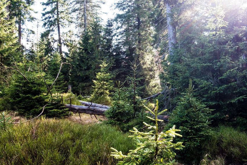 Beauty In Nature Coniferous Tree Day Environment Fir Tree Foliage Forest Green Color Growth Land Landscape Lush Foliage Nature No People Non-urban Scene Outdoors Pine Tree Pine Woodland Plant Scenics - Nature Tranquil Scene Tranquility Tree WoodLand