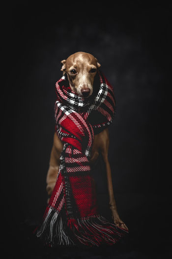 Portrait of dog wearing scarf while sitting against gray background