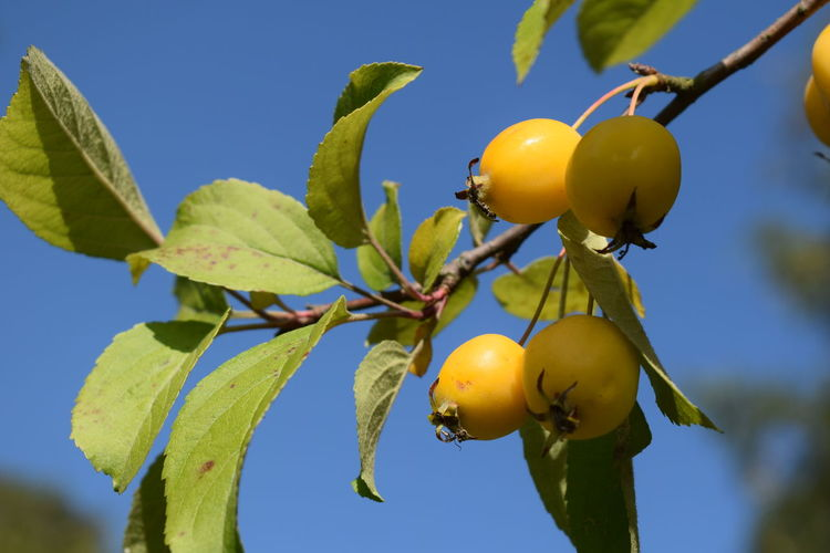 Close-up of oranges growing on tree against sky