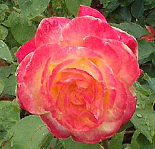 The Rose Flowers Sin Filtros