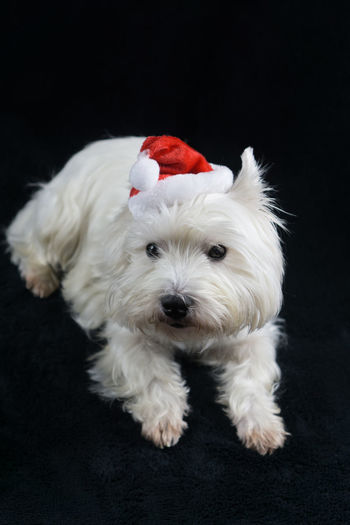 Hat West Highland Terrier Adorable Animal Themes Black Background Christmas Hat Close-up Cute Day Dog Domestic Animals Indoors  Looking At Camera Mammal No People One Animal Pets Portrait Puppy Red Santas Hat West Highland White Terrier Westhighlandwhiteterrier Westie White Color
