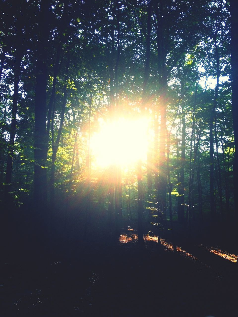 tree, forest, nature, sunbeam, sunlight, tranquility, tranquil scene, sun, beauty in nature, scenics, lens flare, growth, no people, tree trunk, outdoors, woodland, day, environment, landscape, travel destinations, tree area, sky