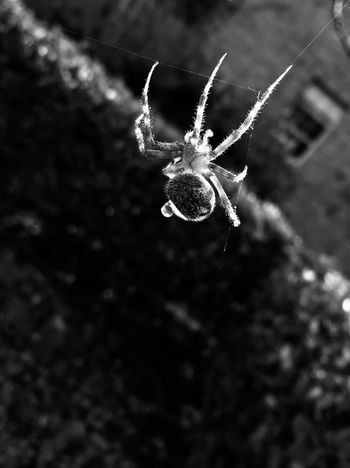 EyeEmNewHere Blackandwhite One Animal Spider Animal Themes Insect Animals In The Wild Spider Web Focus On Foreground Close-up No People Web Animal Wildlife Day Outdoors Nature Perspectives On Nature Black And White Friday EyeEm Ready   Summer Exploratorium The Photojournalist - 2018 EyeEm Awards Summer Road Tripping