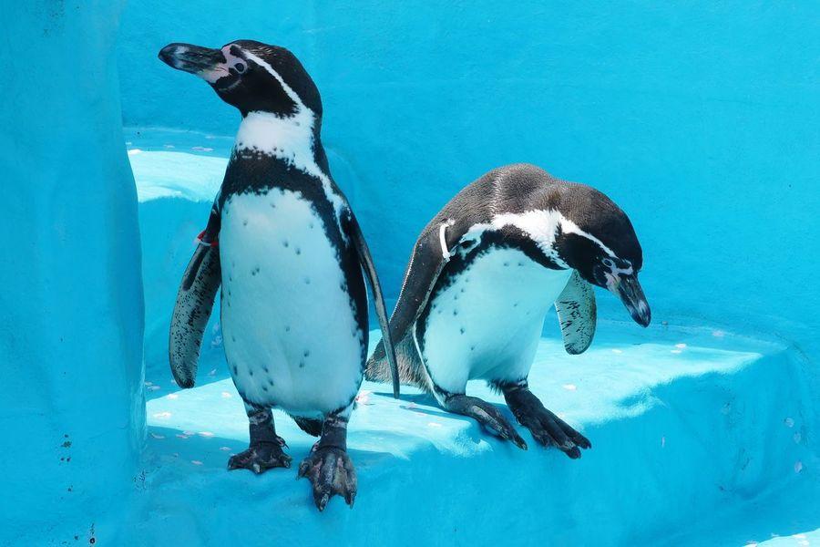 ペンギン Animal Penguin Animal Themes Group Of Animals Animals In The Wild Vertebrate Animal Wildlife