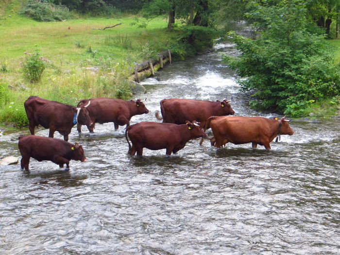Harzer Rotvieh are crossing the Innerste river to their grazing grounds Animal Themes Beauty In Nature Cattle Countryside Crossing The River Domestic Animals Domestic Cattle Full Length Green Color Harz Herbivorous Herd Livestock Mammal Medium Group Of Animals Nature No People Non-urban Scene Rotvieh Summer Grazing Tranquil Scene Tranquility Water