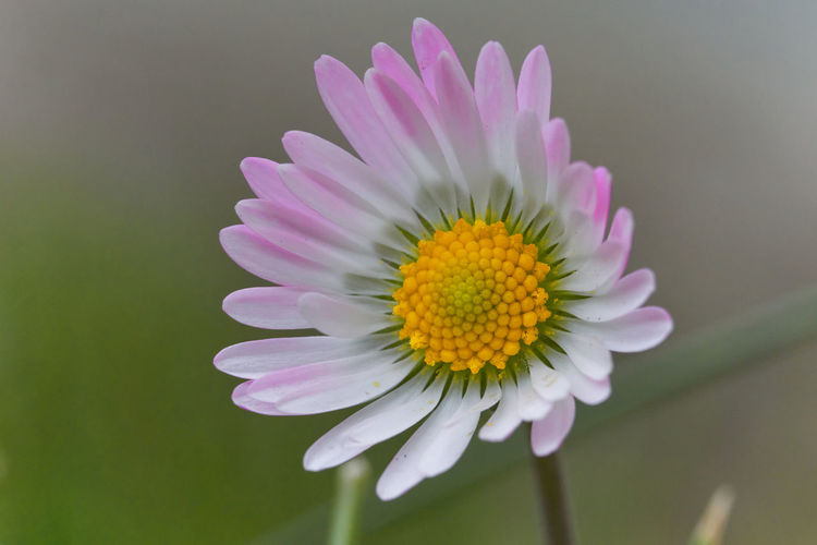 Close-up of fresh pink flower
