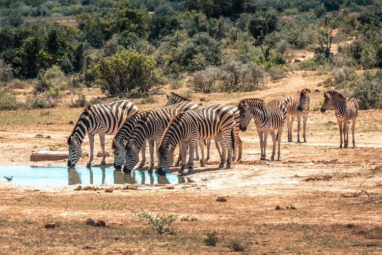 Zebras drinking water in forest