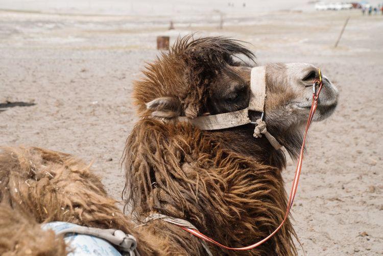 camel is resting Camel Nubra India Leh Ladakh.. Resting Sleep Close Eyes Fur Hair Desert Domestic Animals Mammal Day Close-up No People First Eyeem Photo