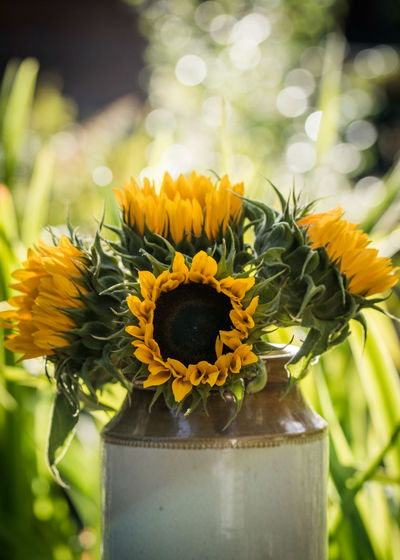 Sunflower Beauty In Nature Close-up Day Earthenware Earthenware Pot Flower Flower Head Flowering Plant Focus On Foreground Fragility Freshness Growth Inflorescence Nature No People Outdoors Petal Plant Pollen Potted Plant Sunflower Sunflowers Vulnerability  Yellow