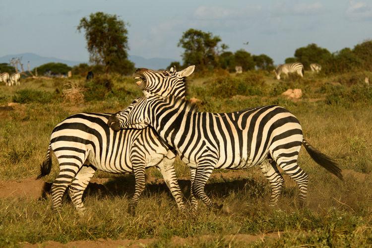 Zebras fighting on field against sky
