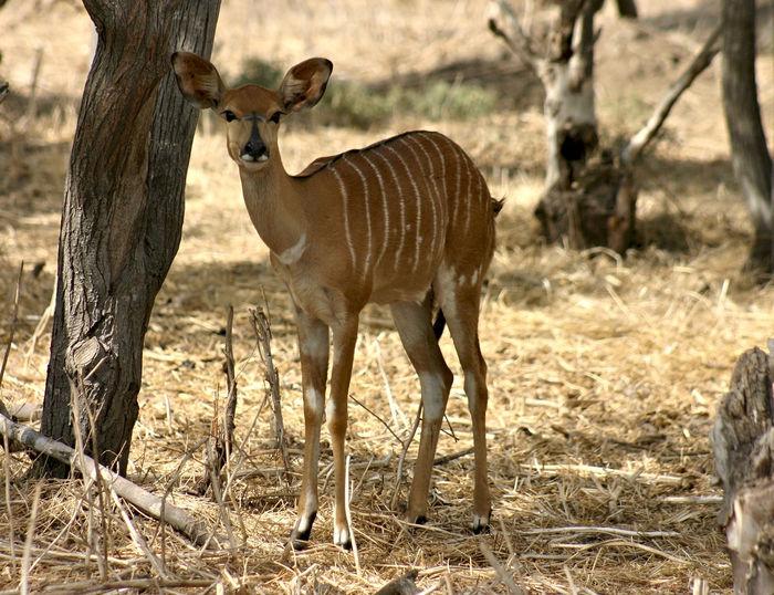 African Njala Animal Antelope Femail Female Mammal Mammal Striped