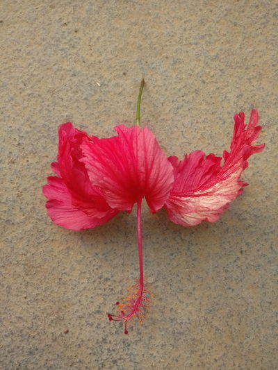 High angle view of pink hibiscus flower