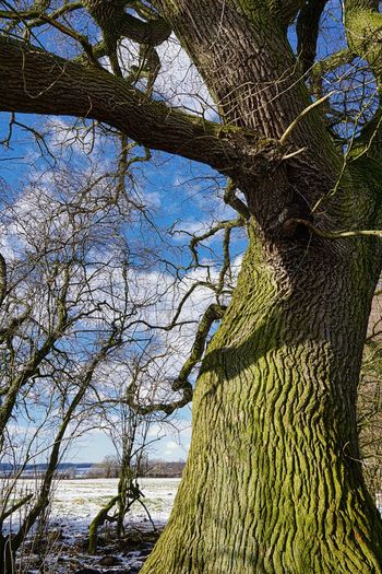 Alte Eiche Auf Feld Bare Tree Beauty In Nature Branch Day Growth Nature No People Outdoors Scenics Sky Tree Tree Trunk