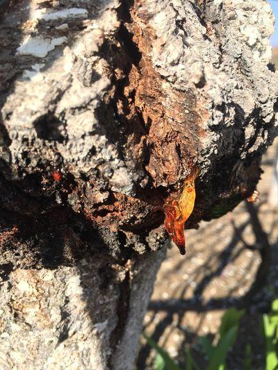 Resin Tree Wood Spring Bulgaria #cottage #Garden Sun Nature Barks Of A Tree Bark Texturexture