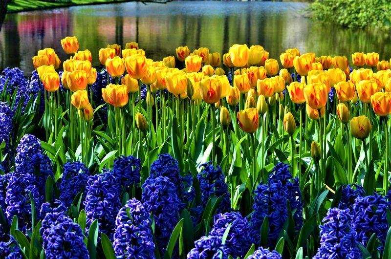 Close-up of fresh yellow tulips