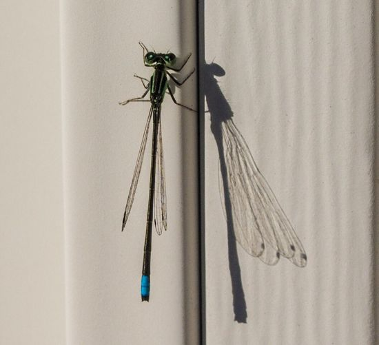 Damselfly Shadow And Light Invertebrate Insect Wall - Building Feature Animals In The Wild Animal Themes Animal Wildlife Close-up