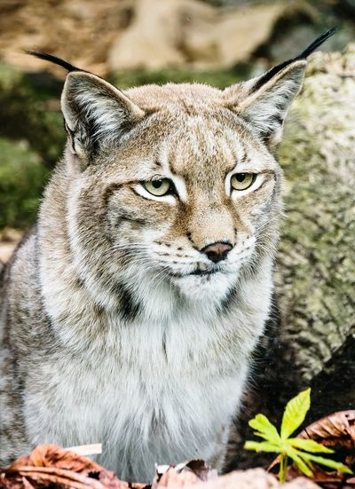 Animal Themes Animals In The Wild One Animal Animal Wildlife Nature Feline Pet Portraits