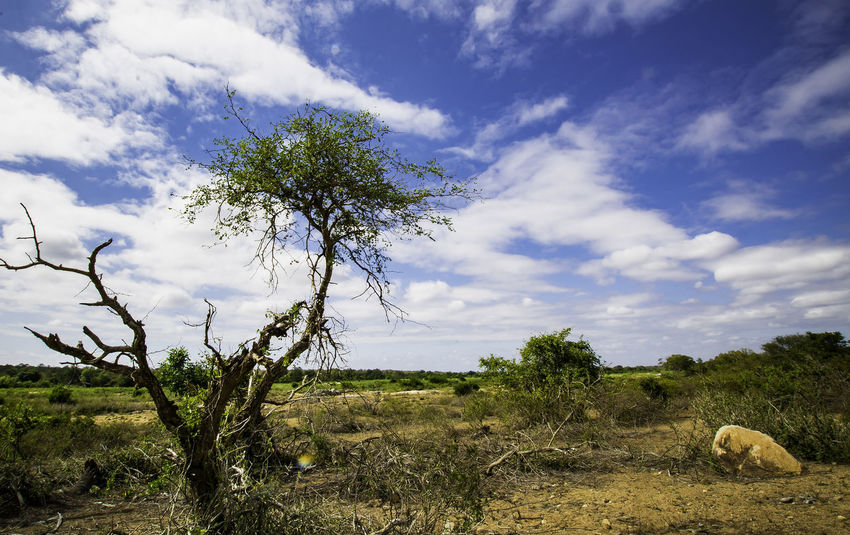 Game Drive Savannah Beauty In Nature Cloud - Sky Day Environment Field Grass Green Color Growth Land Landscape Nature No People Non-urban Scene Outdoors Plant Safari Scenics - Nature Sky Tranquil Scene Tranquility Tree