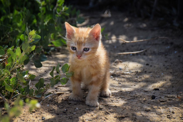 Ginger kitten exploring in the spring sunshine Alertness Animal Cat Cats Cute Cats Domestic Animals Domestic Cat Feral  Feral Cat Ginger Kitten Ginger Kittens Ginger Kitty Kitten Kitty Pet