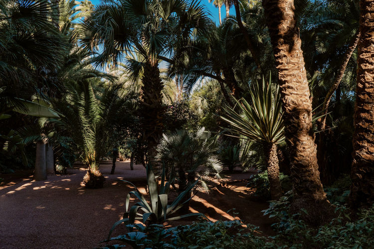 Marrakesh Marrakech Morroco Palm Tree Tropical Climate Nature Palm Leaf Date Palm Tree Tranquil Scene Beauty In Nature Outdoors No People Coconut Palm Tree Tree Trunk Growth Sunlight Forest Light And Shadow Tourist Destination Tourist Attraction  Majorelle Garden