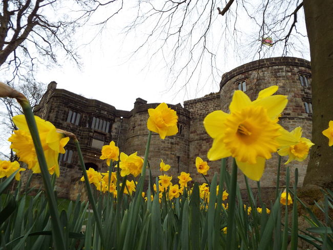Daffodils Main Entrance Castle Entrance Medieval Medieval Castle Skipton Castle Castle Entrance Yellow Yellow Flowers Flowers