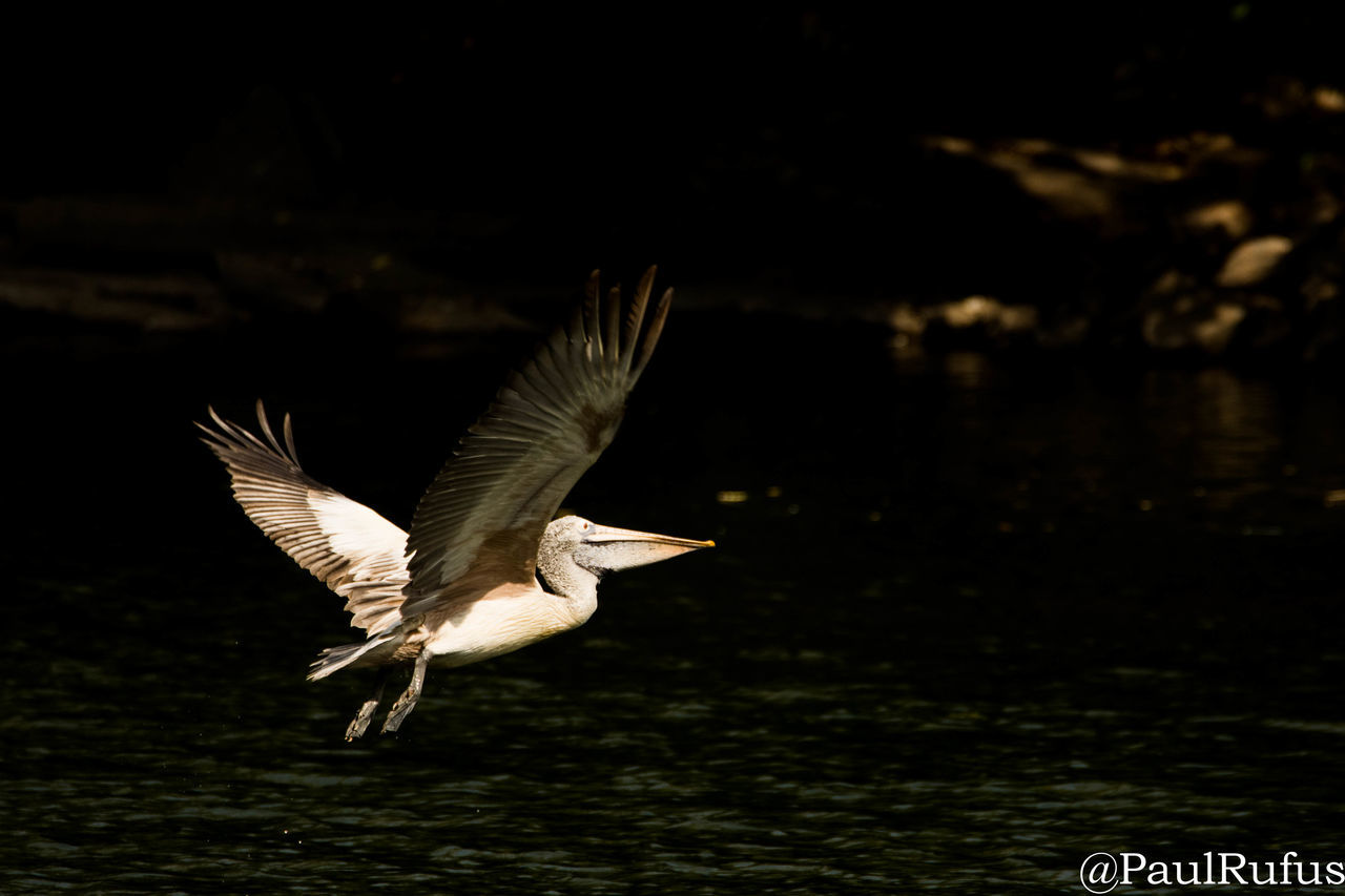 bird, animals in the wild, animal themes, spread wings, one animal, animal wildlife, flying, water, nature, lake, focus on foreground, no people, motion, day, mid-air, beauty in nature, outdoors, close-up