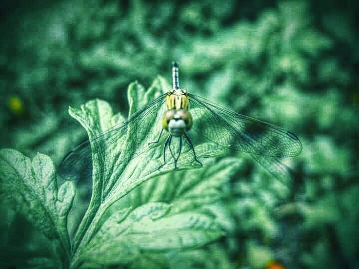 Dragonfly Hello World Eyeem Garden Green Color Garden Photography Colour Of Nature EyeEm Malaysia The Beauty Of Nature EyeEm Nature Lover My Capture  The Week Of Eyeem Fresh On Eyeem  Mobile Photography Plants And Garden Leaves Dragonfly Insect Dragonflywings Dragonfly Landing Staring At The Camera Watching You Green Nature