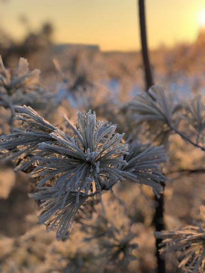 Frost Plant