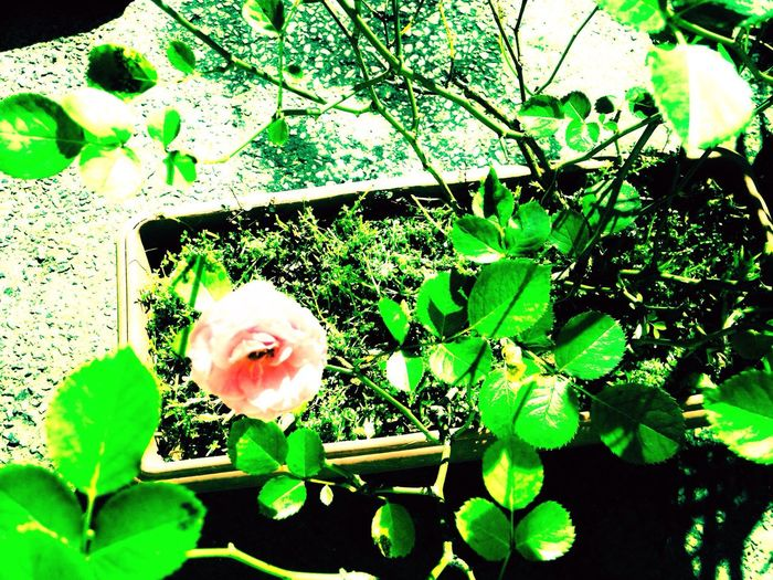 Rose Garden Flower Plant Nature Fragility Beauty In Nature Green Color Outdoors No People Garden Flowers Garden Photography Rose - Flower Rose Pink Rose🌹 Rose Pink Beauty Rose Pink Flower Rose Pink Color