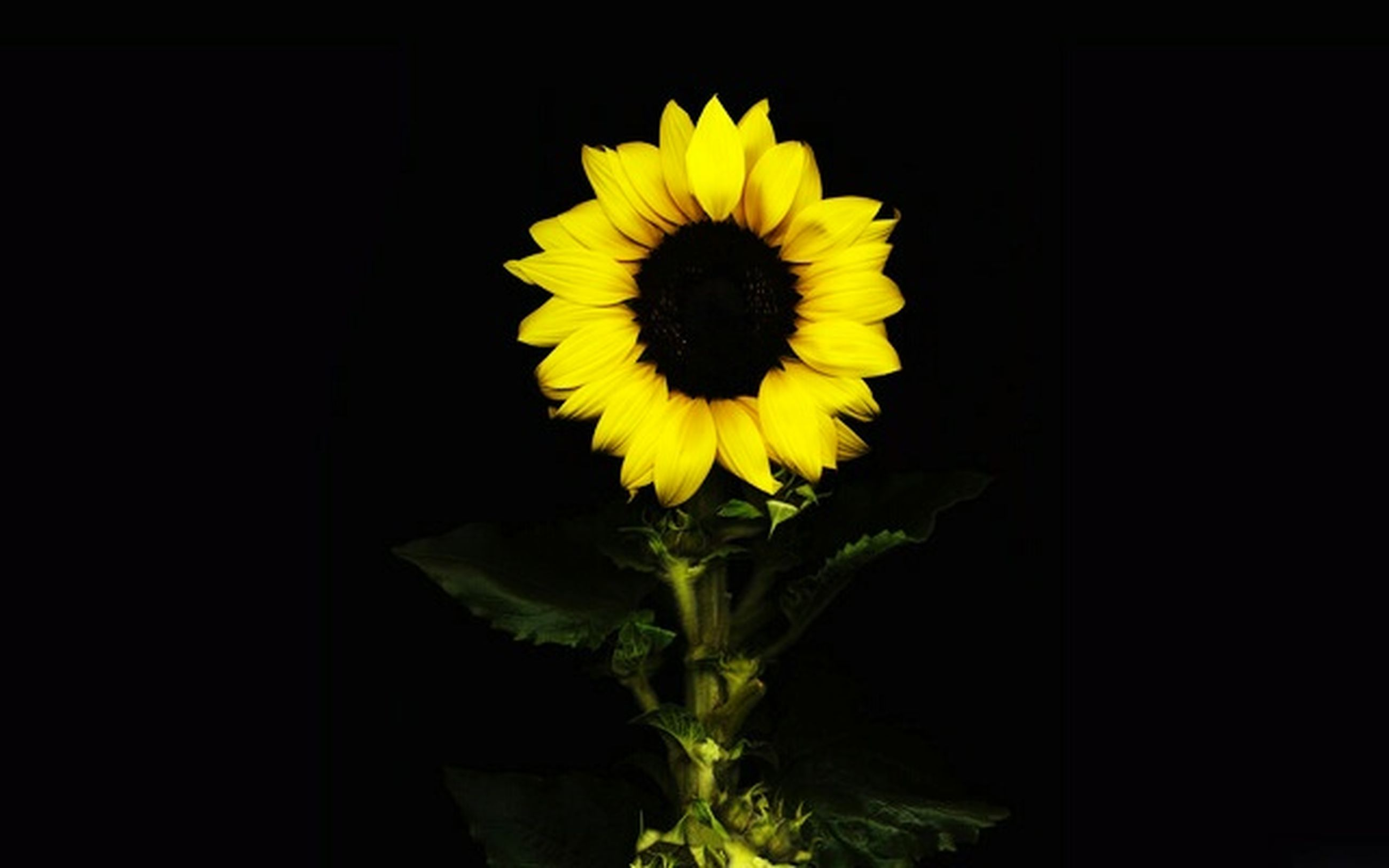 flower, yellow, petal, freshness, flower head, fragility, sunflower, beauty in nature, studio shot, growth, single flower, plant, nature, black background, close-up, blooming, copy space, stem, pollen, leaf