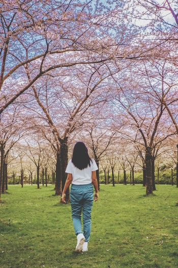 Tree Flower Full Length Walking Field Grass Casual Clothing Sky Green Color Cherry Blossom Cherry Tree Grassland Park - Man Made Space Flower Tree Blooming Countryside Farm Animal Orchard Apple Blossom Twig Yard In Bloom Fruit Tree Blossom Greenery Branch Green Pink Flower Head Pollen