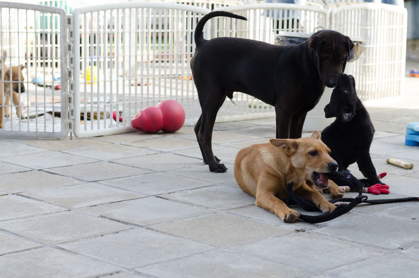 Playful puppies Dogs Mongrel Animal Themes Black Canine Dog Domestic Animals Mammal Mix Breed Multibreed No People Outdoors Pets Playful Playing Playpen Puppies Puppy Sitting Tan Three