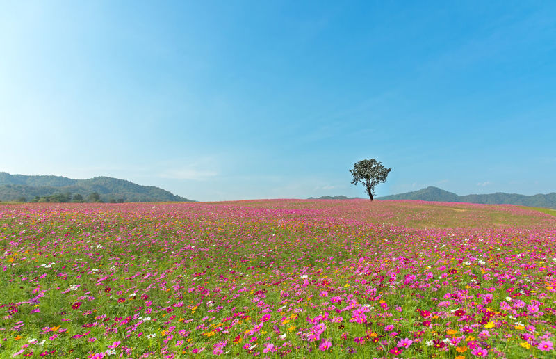 Scenic view of pink flowering plants on field against sky