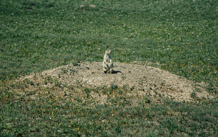 Animal Themes Animal Wildlife Animals In The Wild Day Grass High Angle View Mammal Nature No People One Animal Outdoors Prairie Dogs Rodent