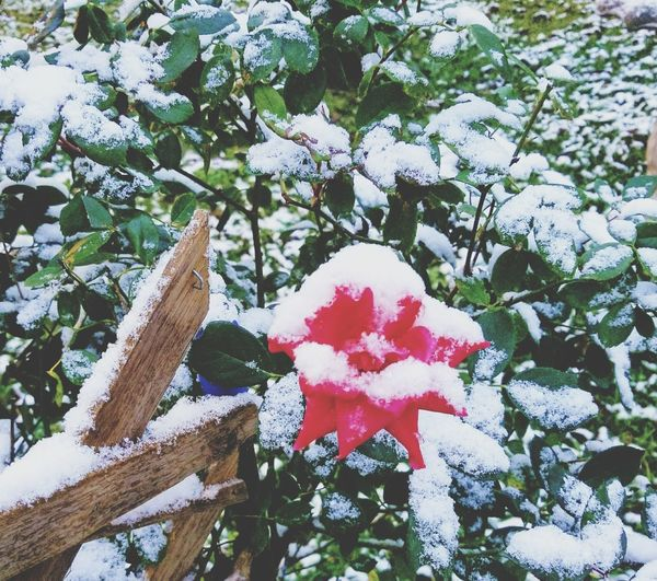 Winter Rose Rose - Flower Day Outdoors Nature Growth Leaf No People Red Snow Winter Beauty In Nature