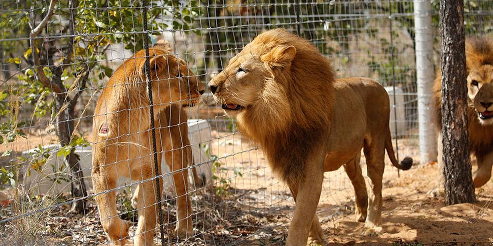 Lions 😗