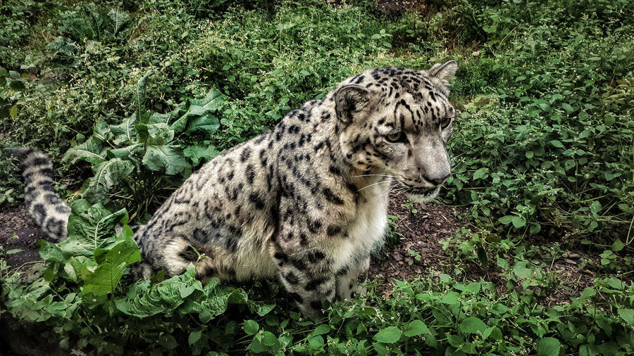 Beautiful cat Beauty In Nature Nature Leopard Animal Markings Grass Green Color Zoo Wildlife