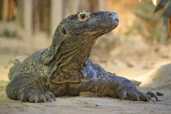 Animal Komodo Dragon Komododragon Wild Wildlife Zoo Zoo Animals  Zoo Life