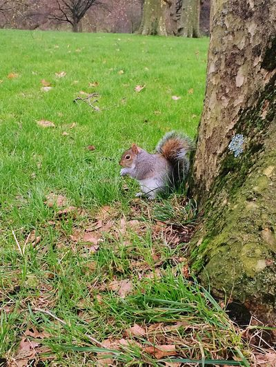 Scoiattolo Squirrel Squirrellino Buckingham Palace Queen👑 Park Tree Leaves Cute Nice Soft Beautiful Nature