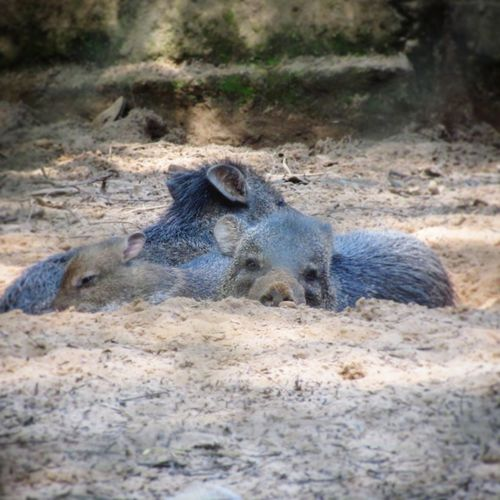 porcos selvagens Pig Acre Brazil Selvagem Family Slipping Sand Close-up Lizard Exotic Pets Animal Skin Snake Animal Scale Animal Markings Skin