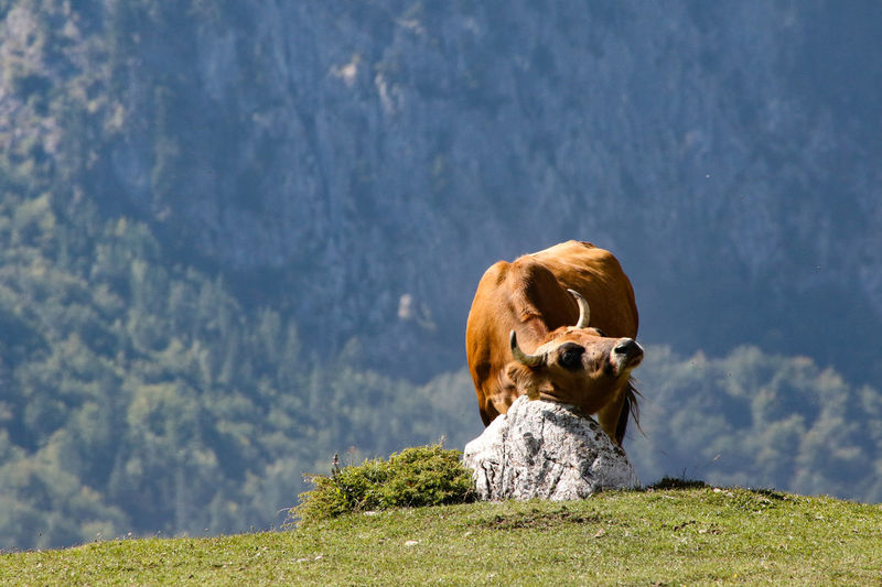 Cow scratching Itching Animal Themes Beauty In Nature Cow Day Domestic Animals Grass Mammal Mountain Nature No People One Animal Outdoors Rock - Object Scratching Stone Sunlight