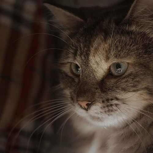 Perilous Piper Animal Themes Looking At Camera Whisker Domestic Cat Indoors  Photography Cozy At Home Polydactyl Kitten